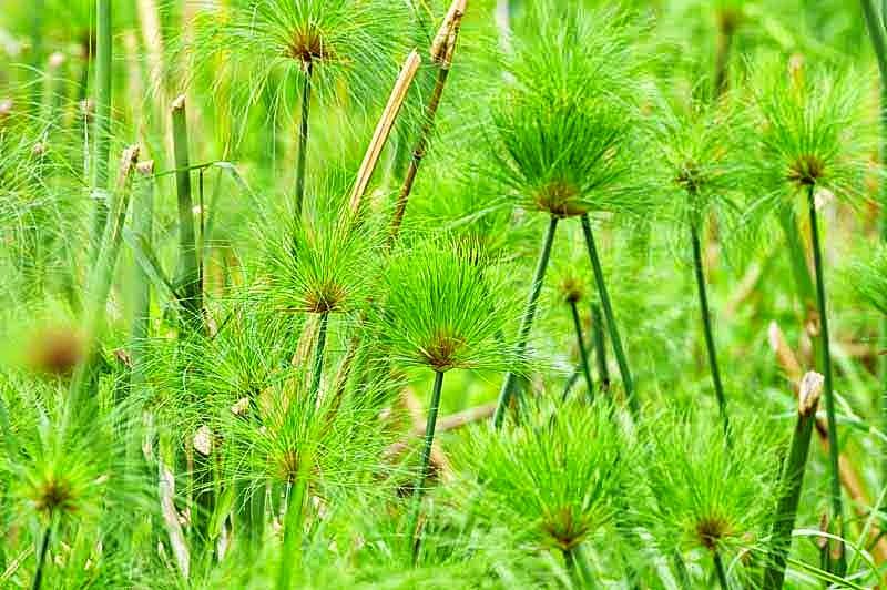 plants, reeds, papyrus