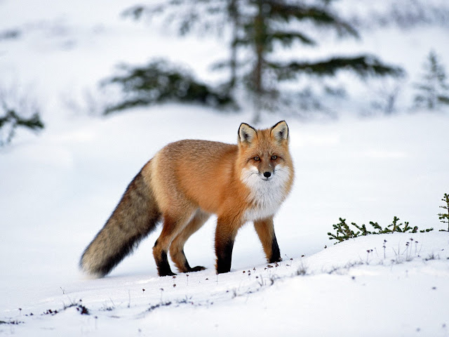 Fox in Winter 2