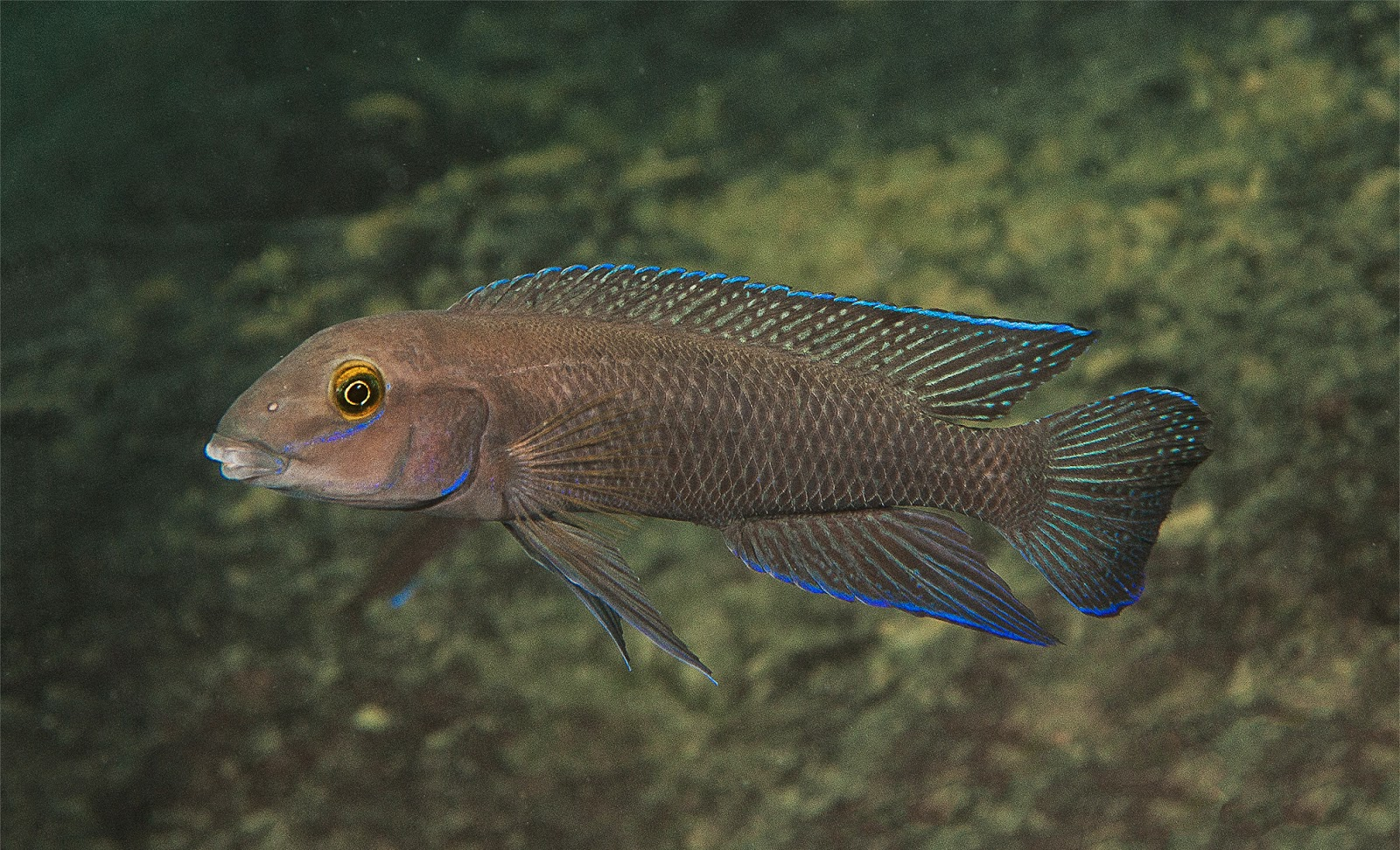Chalinochromis cyanophleps in natural habitat at Namansi, depth 8 m ...