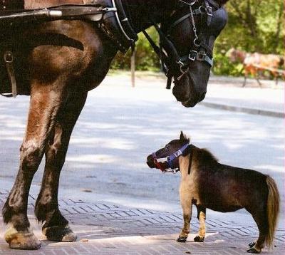 Pulgarcita, el caballo mas pequeño del mundo