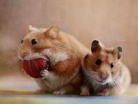 Cara Membedakan Jenis Kelamin Hamster