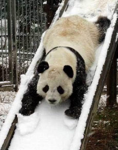 Panda going down a slide