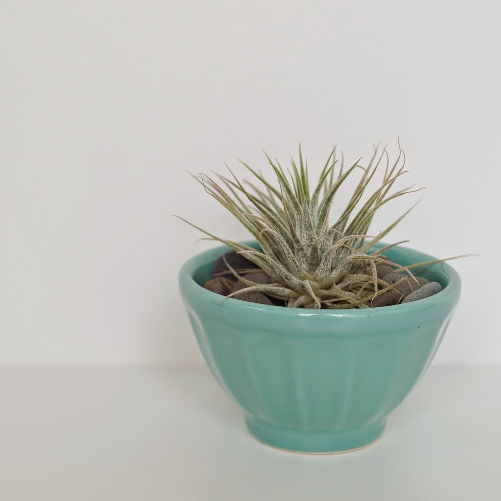Airplant in Anthropologie Latte Bowl