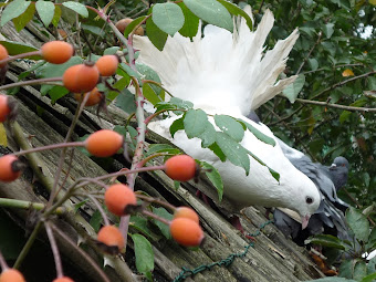 PHOTO LINKS TO OUR ORGANIC POULTRY BLOG _ CHICKENS, QUAIL & PIGEONS
