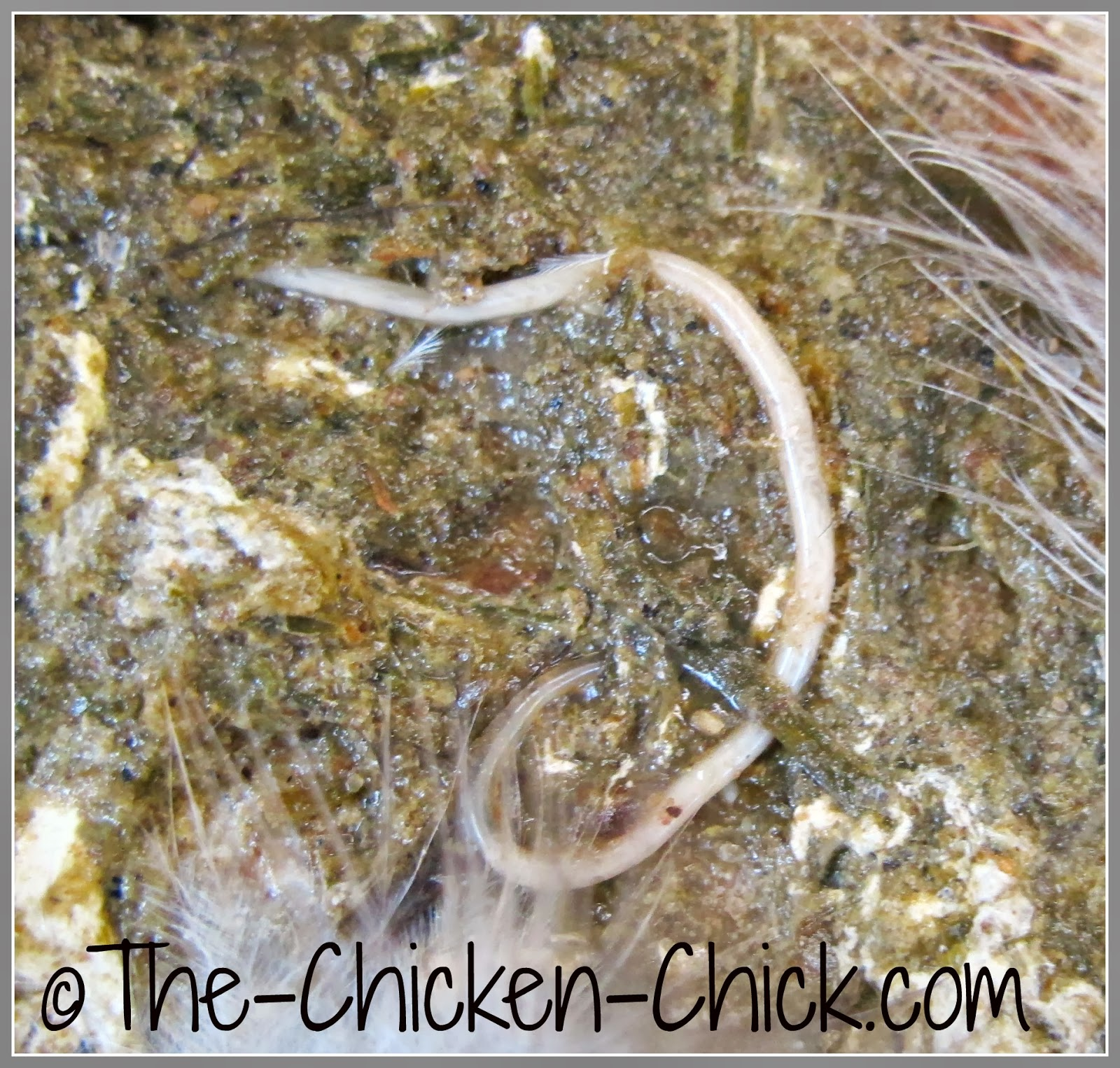 Photo of roundworm in chicken droppings.