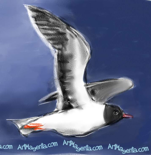Little Gull sketch painting. Bird art drawing by illustrator Artmagenta.