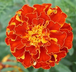 Subhanallah Ternyata Bunga Tagetes Erecta Memiliki 4 Manfaat Untuk Kesehatan