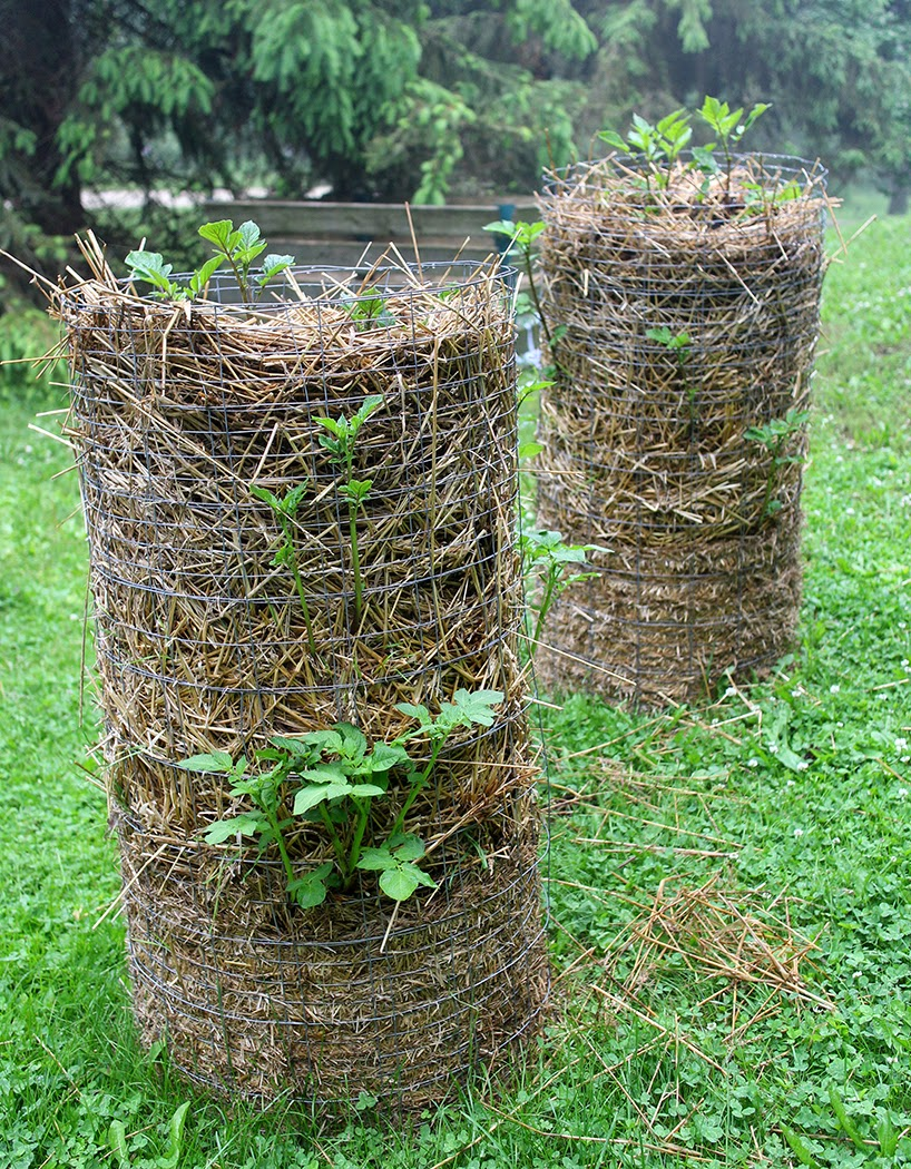 Potato towers: The Impatient Gardener