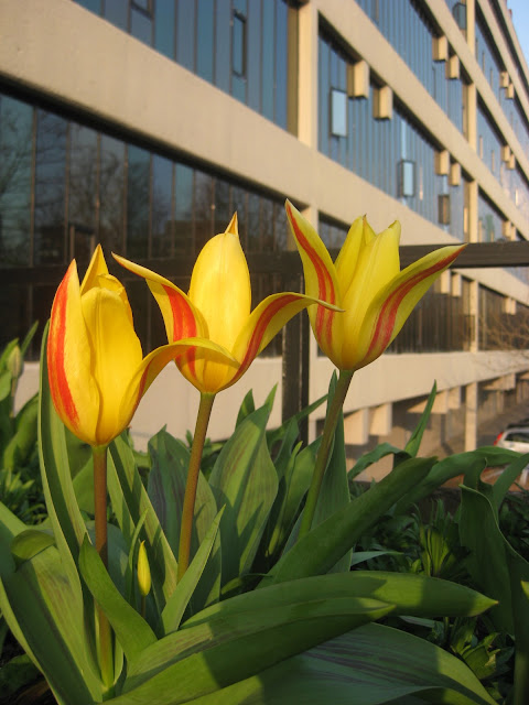Striped tulips on Leeds University campus