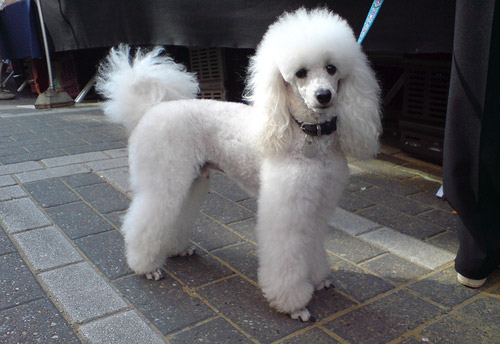 Dog Wallpapers Album: Poodle Dog Breed Pictures