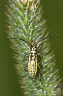Para ampliar  Leptopterna dolabrata (Linnaeus, 1758) ninfa hacer clic