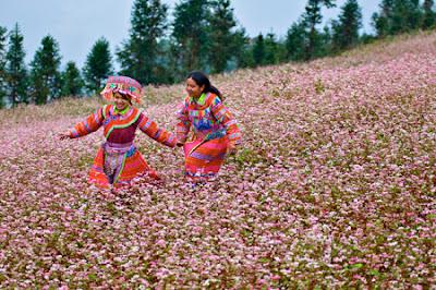Mê mẩn sắc hồng hoa tam giác mạch ở Xín Mần
