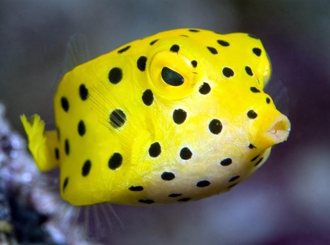 Boxfish - Fishes World - HD Images & Free Photos
