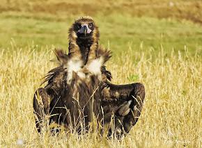 Fotografías de Aves Necrófagas en el Valle de Alcudia