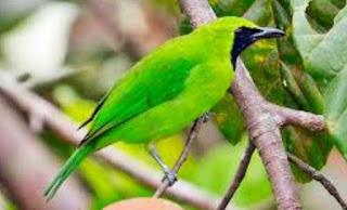 Perbedaan Burung Cecak Ijo Dengan Burung Cecak Ijo Mini