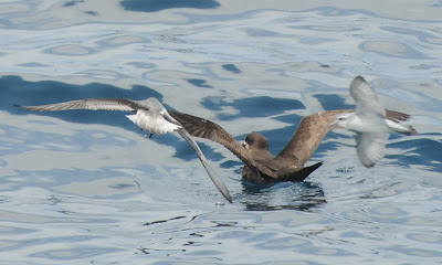 Grey-faced Petrel (Pterodroma macroptera gouldi) and Fairy Prion (Pachyptila turtur)