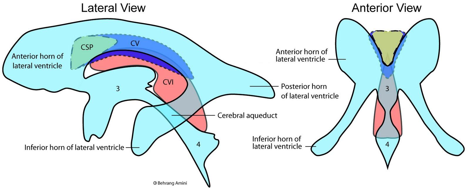 Wunderbar Velum Interpositum Anatomie Zeitgenössisch - Anatomie ...