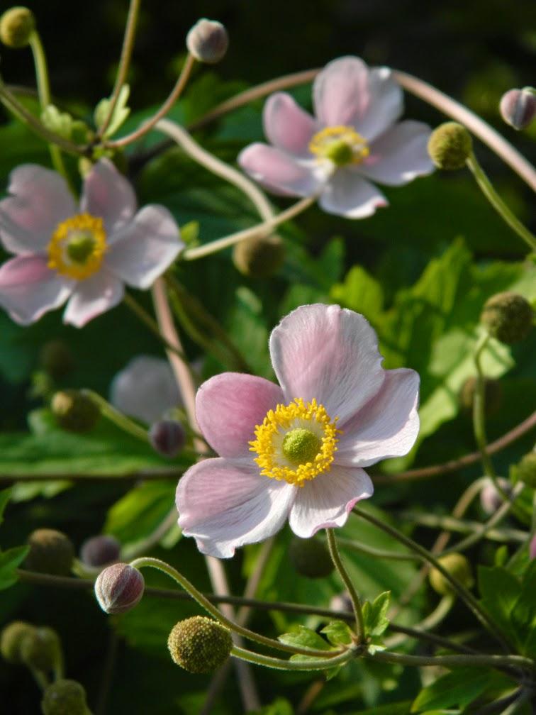 Anemone tomentosa 'Robustissima' grapeleaf anemone Toronto Botanical Garden by garden muses-not another Toronto gardening blog