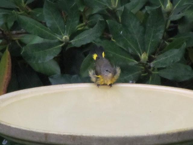 american redstart in bird bath five