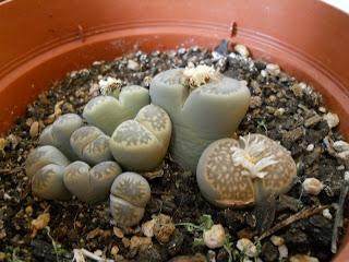 cactus que parece una piedra