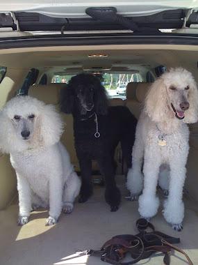 Lanny's 3 Standard Poodles