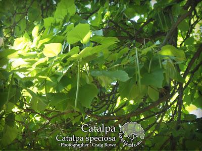 Catalpa Leaves & Pods