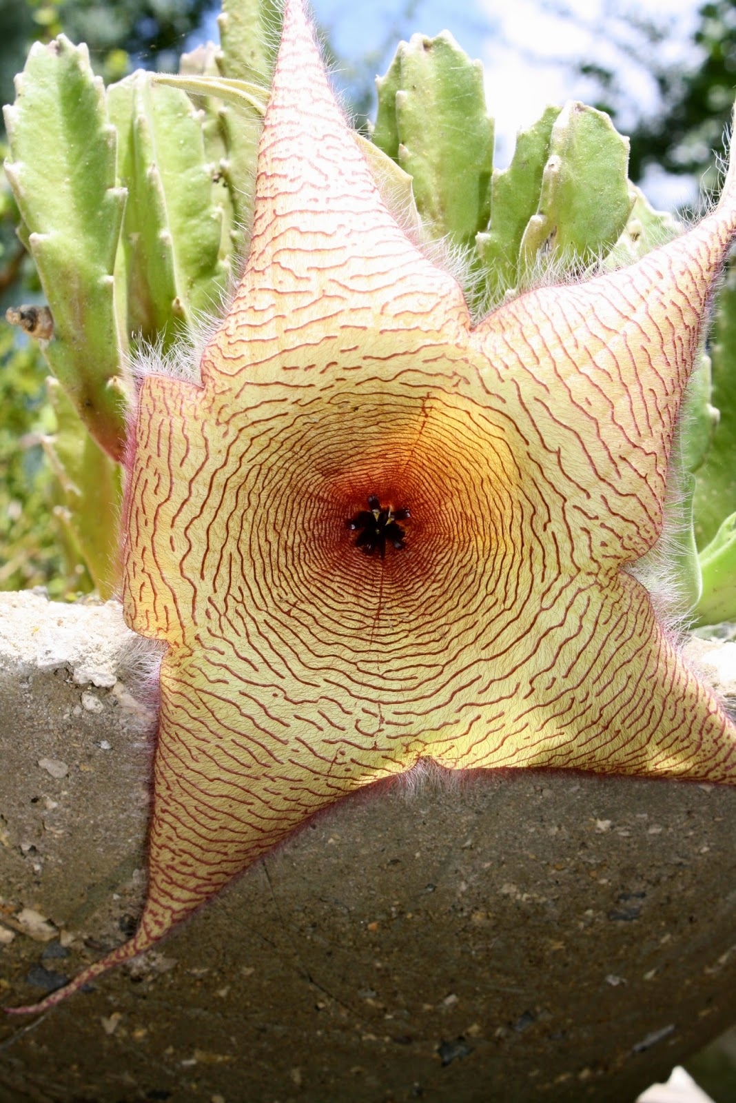 Stapelia bloom