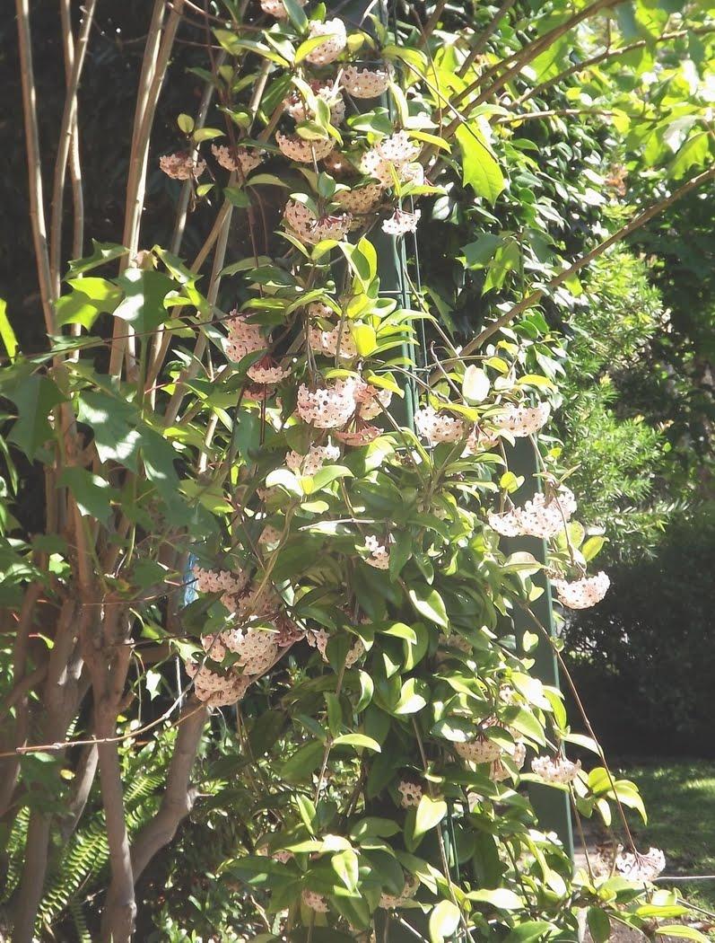 Jimmy' s nackar flower (flor de cera, asi como esta hoy diciembre 20, 2011)