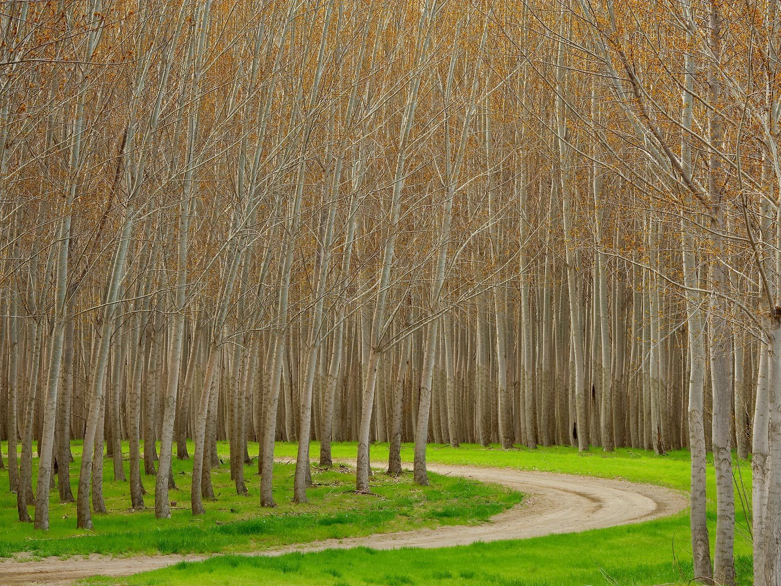 tree free wallpaper hybrid poplar tree