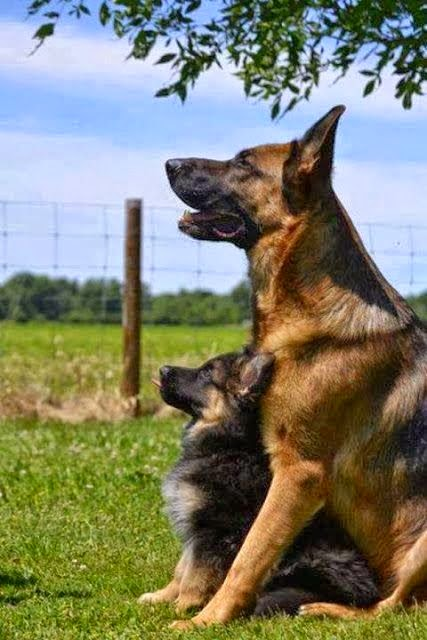 See more German Shepherd with Pup http://cutepuppyanddog.blogspot.com/
