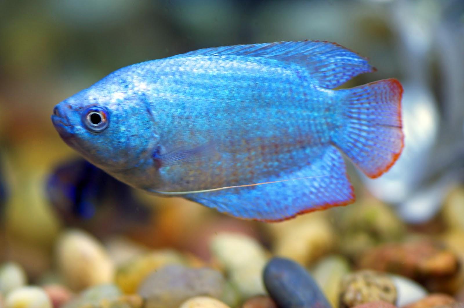 Blue Gourami Blue gourami