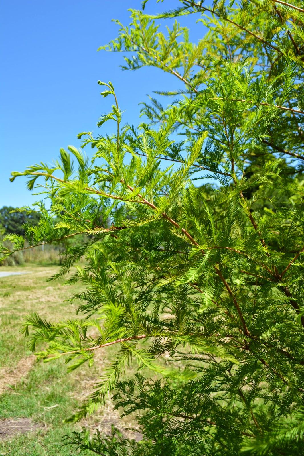 Ciprés calvo. Taxodium.