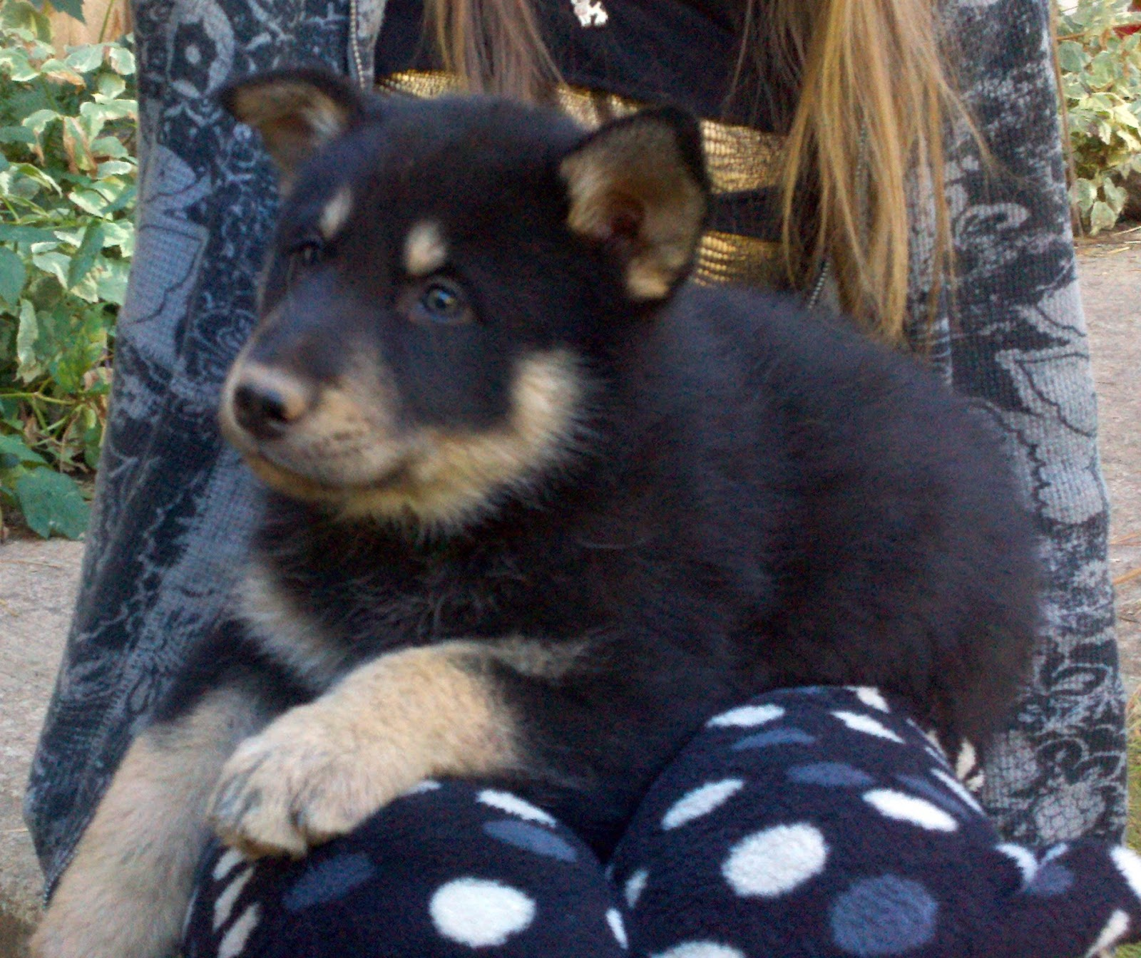 Timber Wolf Puppies For Sale She is makenzie valley wolf,
