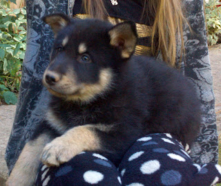 Timber Wolf Puppies for Sale