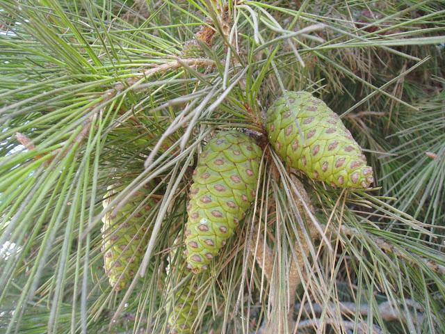 pino-carrasco-pinus halepensis