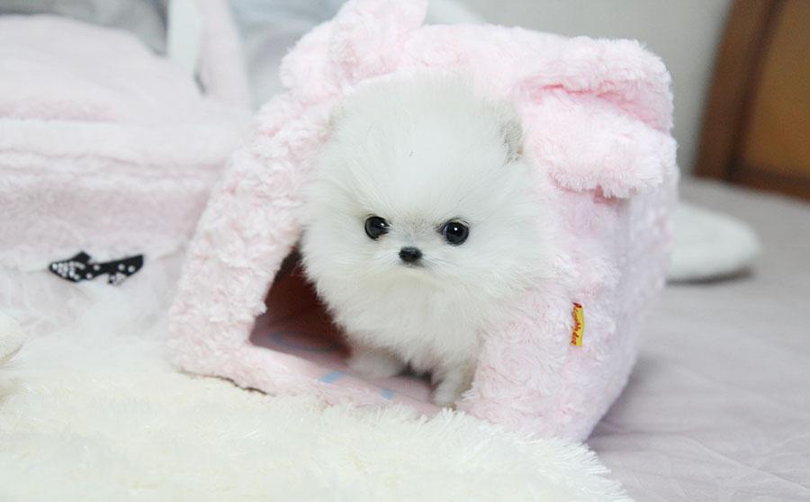 White Teacup Pomeranian Price
