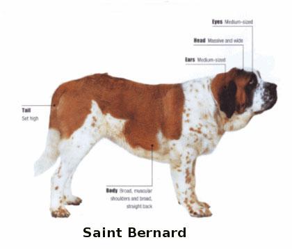 saint bernard dog st. bernhardshund bernhardiner hound swiss mountain
