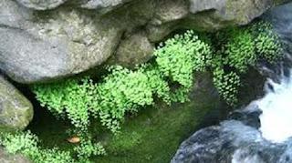 Jardineria, Catalogo de Plantas: Adiantum capillus-veneris