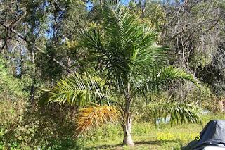 Lowongan Kerja di Perkebunan Kelapa Sawit  Amara Plantation