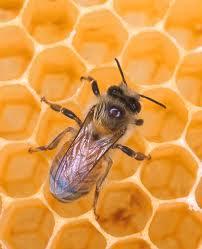 budidaya lebah madu, cara beternak lebah madu, cara budidaya lebah madu, budidaya lebah