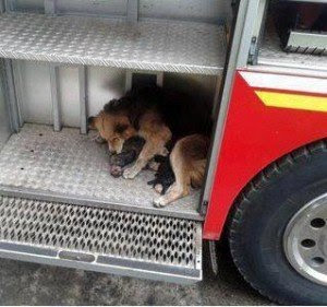 perrita salva a sus cachorros de incendio carro de bomberos