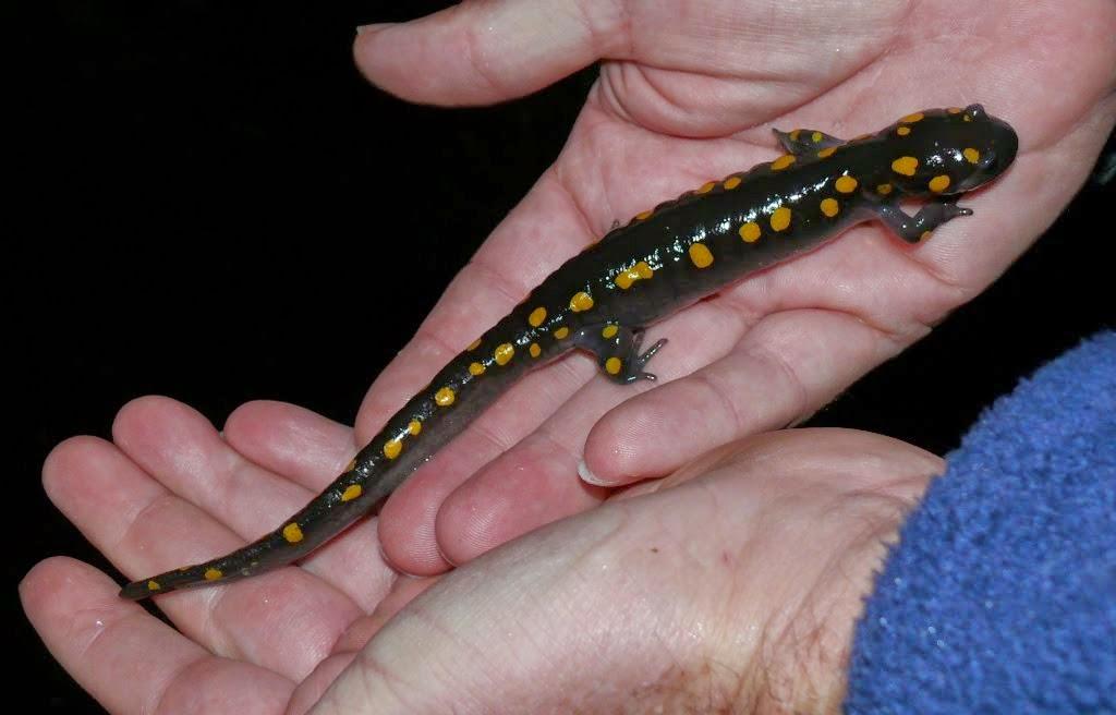 33++ Apa itu hewan salamander terbaru