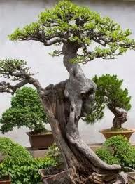 membuat bonsai, cara membuat bonsai, bonsai termahal, contoh pohon bonsai