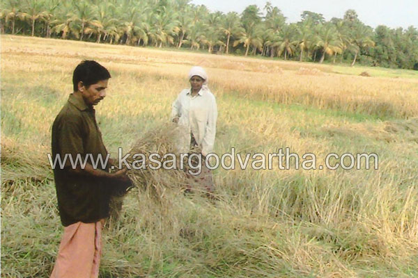Dryness, Paddy farm, Destroy, Kanhangad, Kasaragod, Kerala, Malayalam news, Kasargod Vartha, Kerala News, International News, National News, Gulf News, Health News, Educational News, Business News, Stock news, Gold News