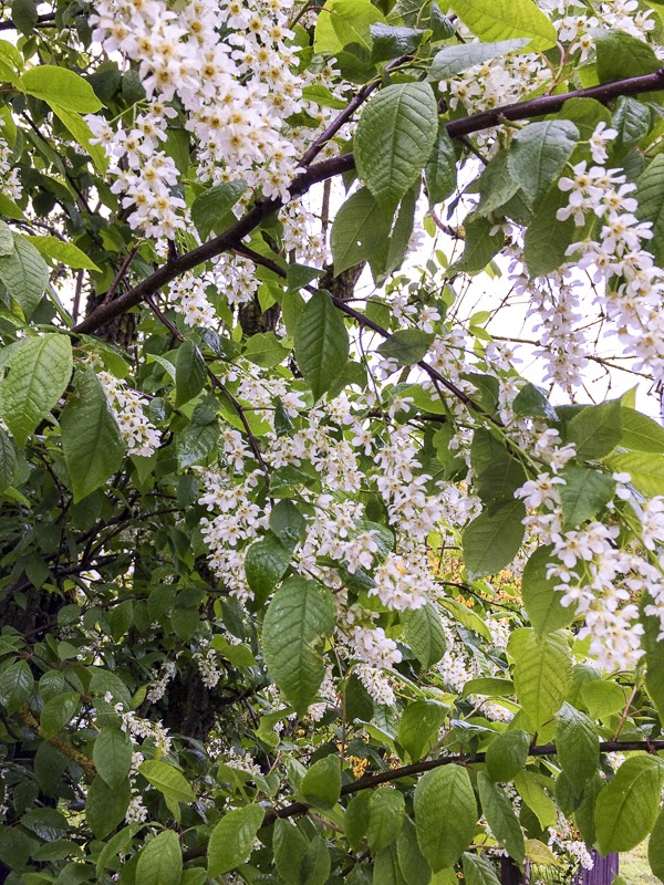 hägg, bird-cherry