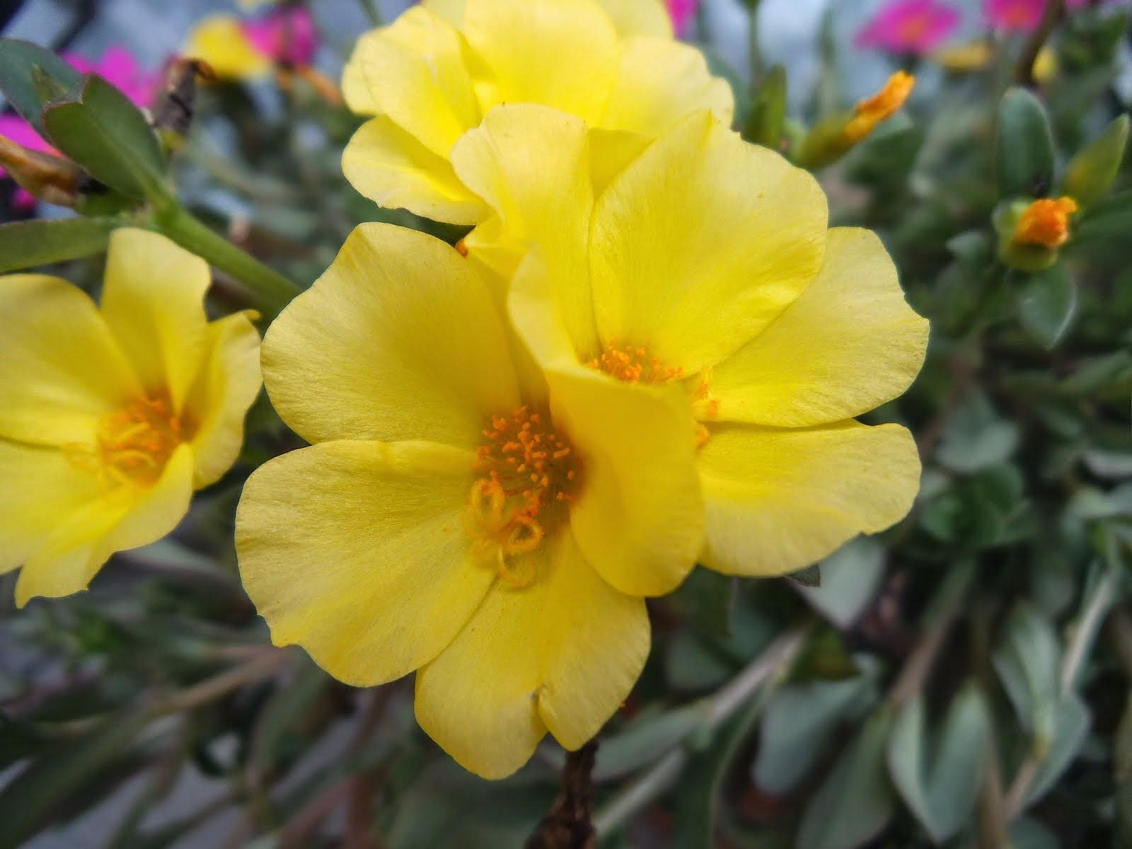 Portulacca gialla
