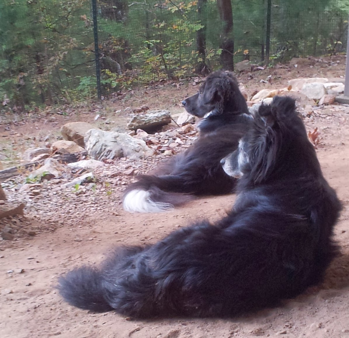 Best Supplements Agility Dog Forum Site Www Goldenretrieverforum Com