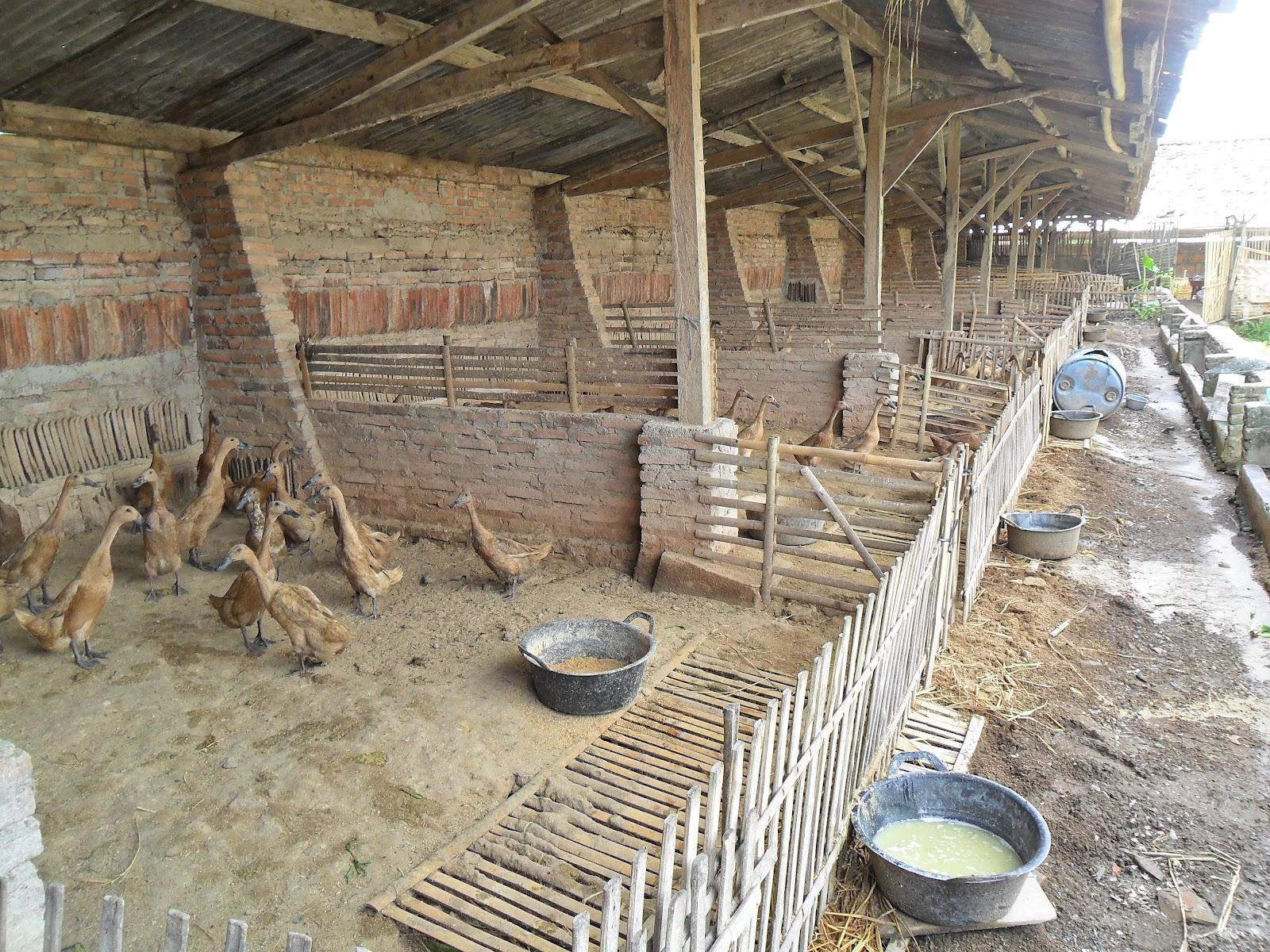 peternakan ayam filipina