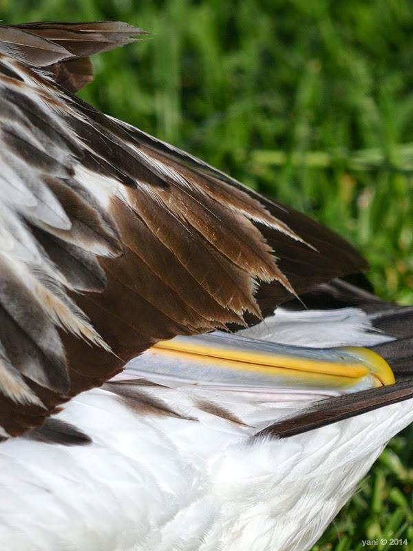 hidden pelican beak