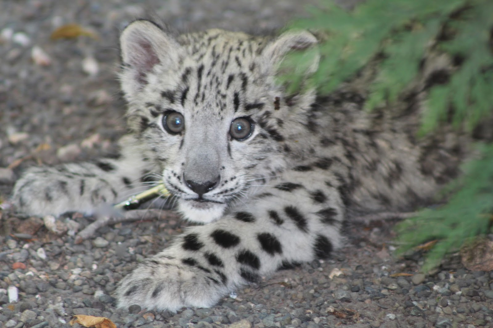 He Is A Baby Snow Leopard Born May 22nd This Year What Gorgeous Experience To See Touch Play With And Photograph Beautiful